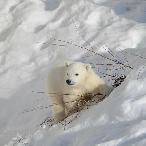 Polarbear cub in Ranua