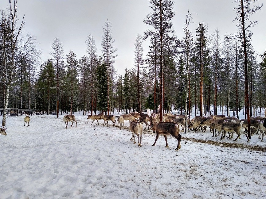 Winter activities in Lapland: reindeer farm visit at Vaaran Porotila - Arctic Guesthouse & Igloos