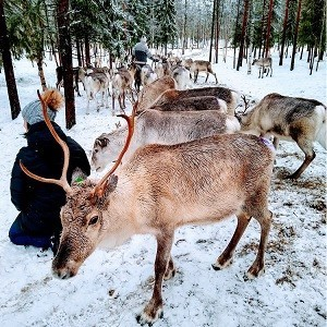 reindeer farm visit in Ranua