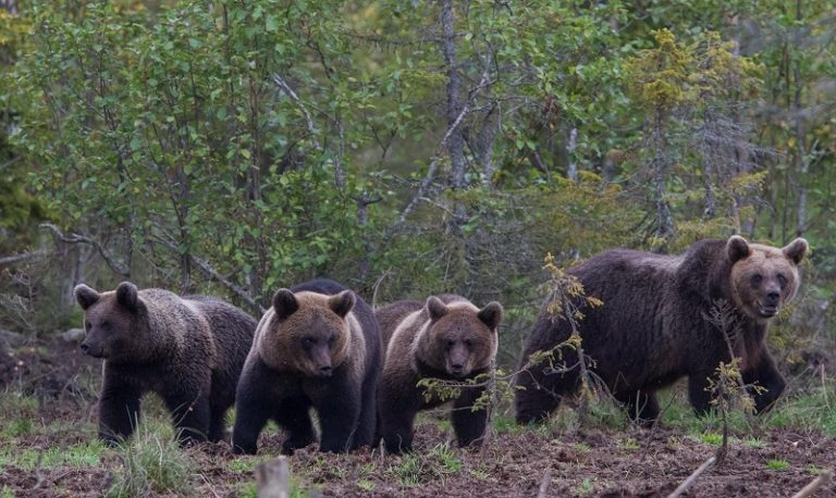 Bear photography trip in Kuusamo arranged by Arctic Guesthouse & Igloos