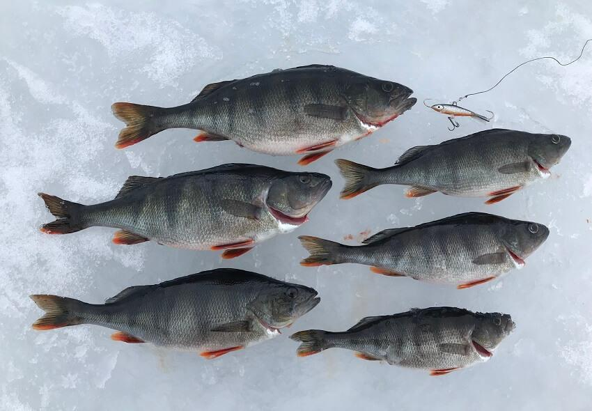 Perch ice fishing at lake Ranua