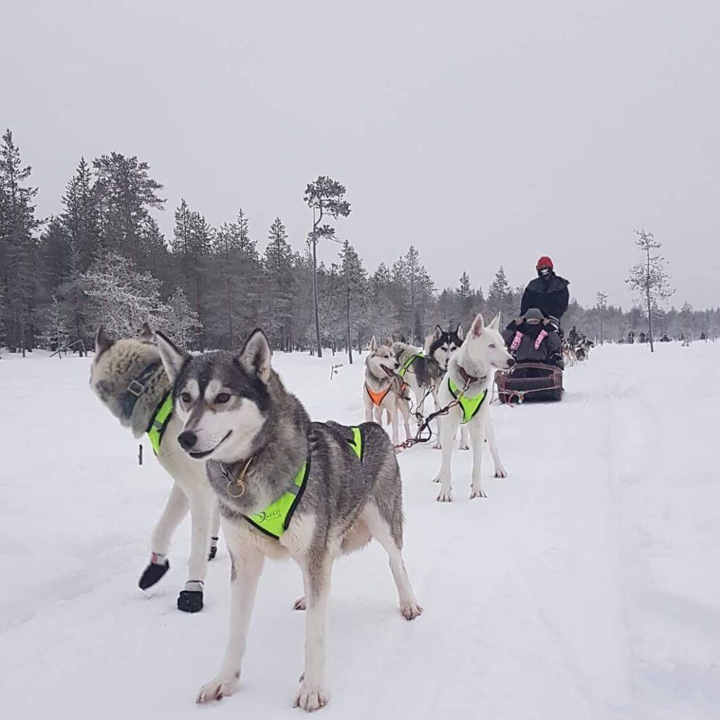 Arctic Borealis Huskiesin koiravaljakkoajelu Ranualla