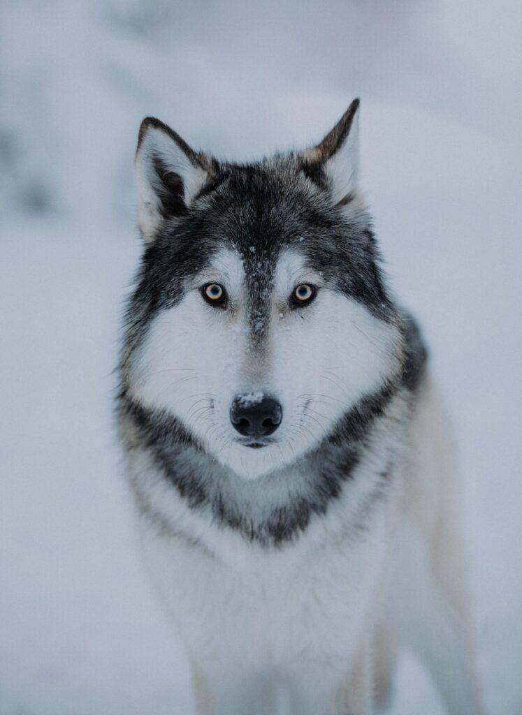 Susimaa Lapland wolfdog in Ranua