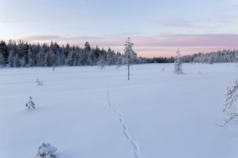 Snowshoeing safari in beautiful wintery landscape in Ranua, Finnish Lapland