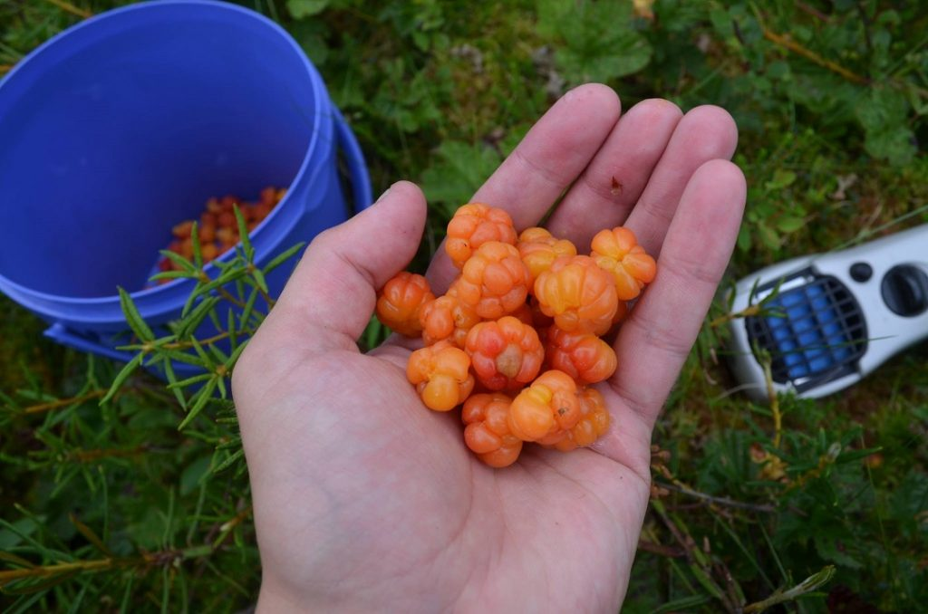 Cloudberry picking in Ranua, Finnish Lapland.