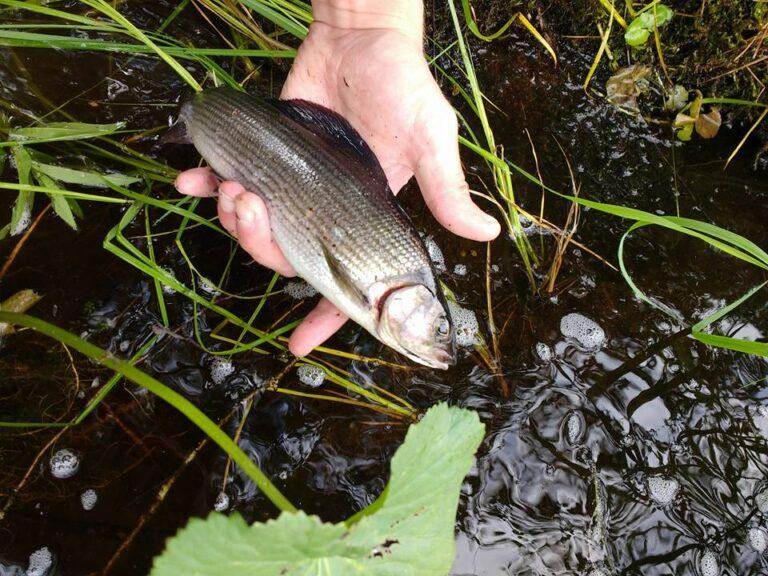Small grayling returning back to the river in Simojoki
