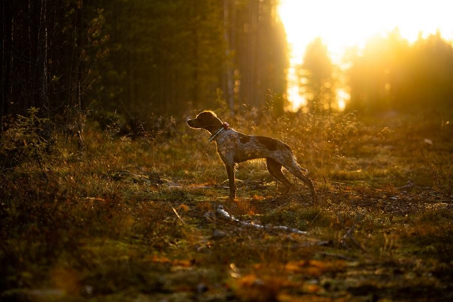 Galliform hunting in Ranua with a hunting dog