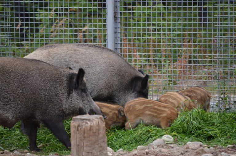 Ranua Zoo Wildlife Park's wild boars in summer 2018