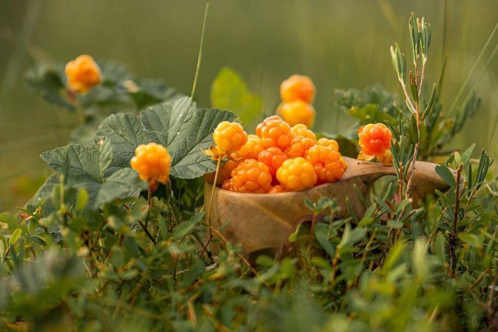 Picture of ripe cloudberries in Ranua, Finnish Lapland in summer 2020