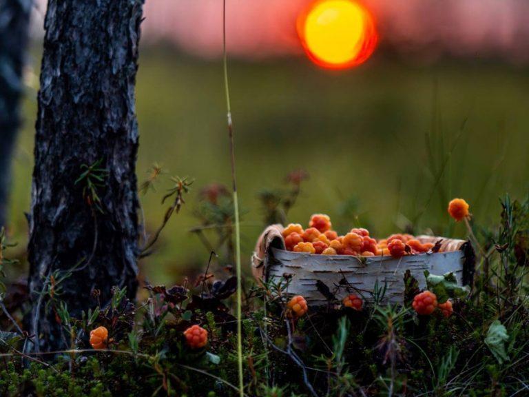 Berry picking - ripe cloudberries in Ranua in summer 2021