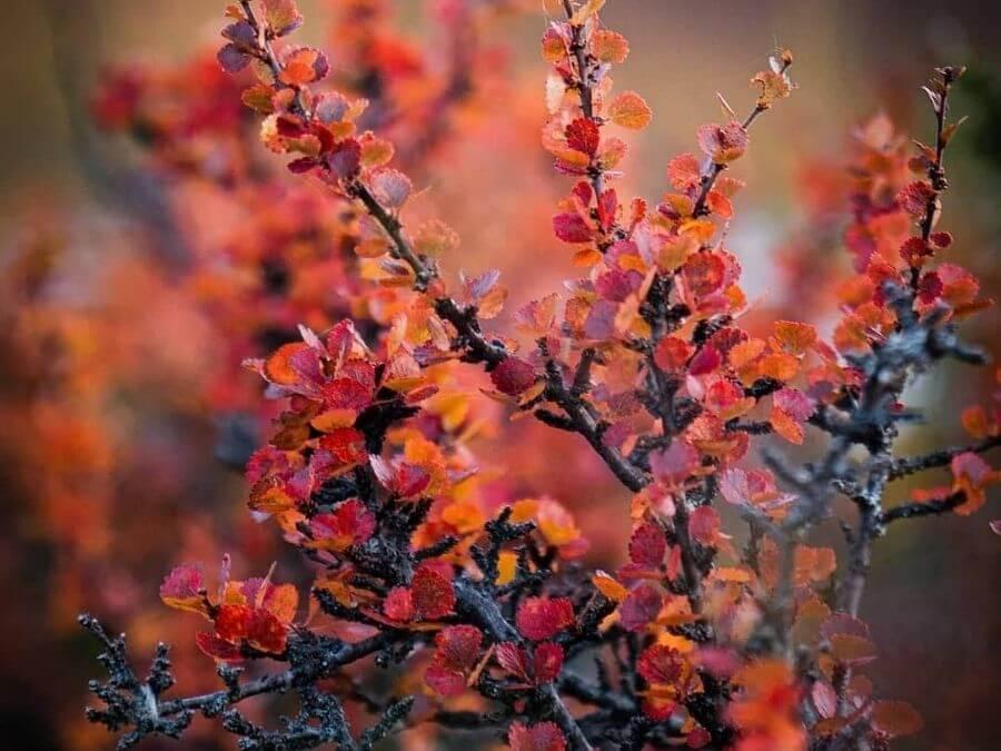 Maaruskan värejä varpukasveissa