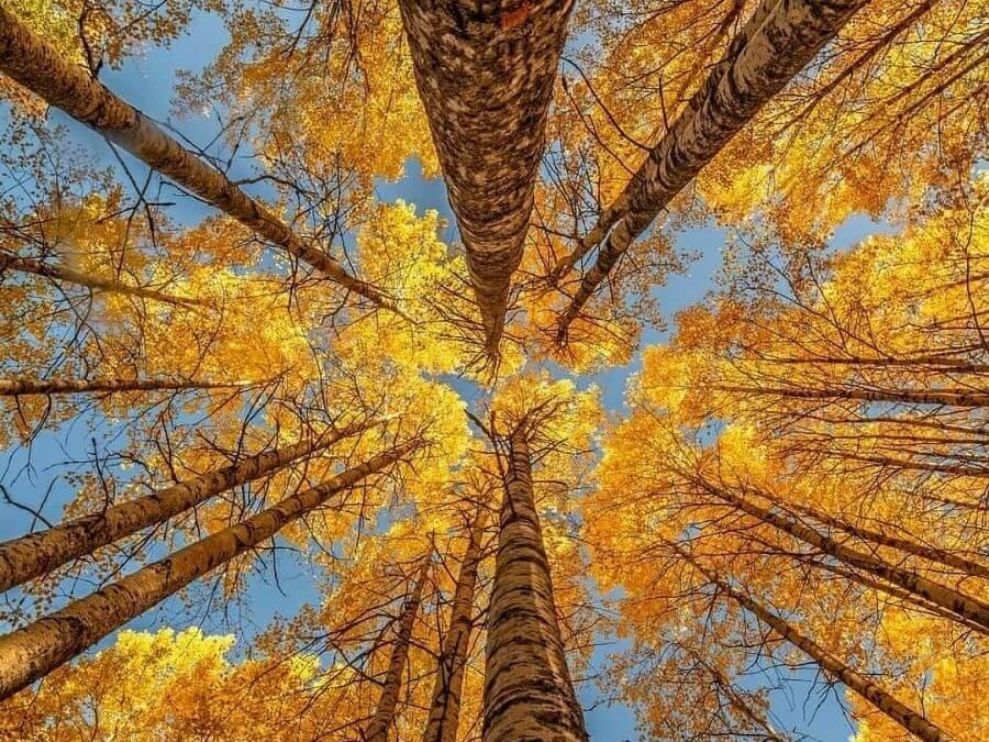 Kaunista puuruskaa koivuissa syksyllä 2021