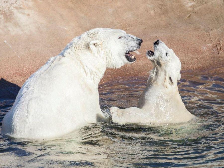 Ranuan eläinpuiston jääkarhut Venus ja Ranzo