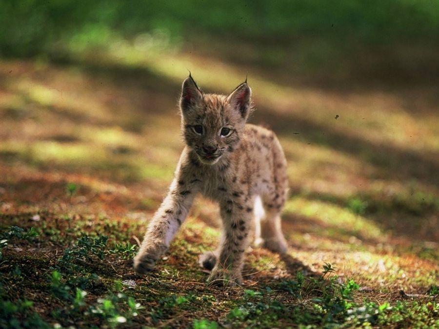 Ranuan eläinpuiston Väinö-ilves näytteli Poika ja Ilves elokuvan toista pääosaa