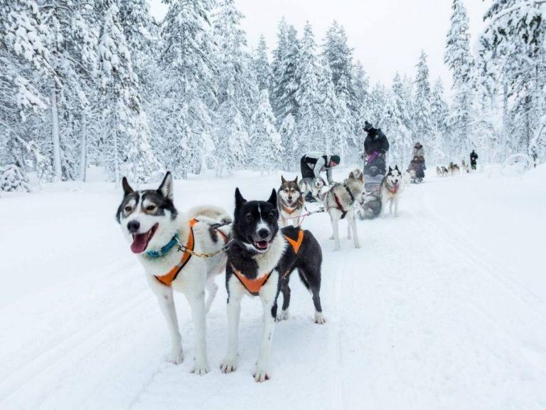Husky sledding is a traditional winter holiday activity in Finnish Lapland