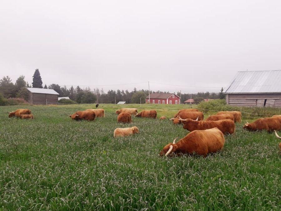 Keskitalon Ylämaankarja is an organic farm, specialized in local food production, in Putkivaara, Ranua