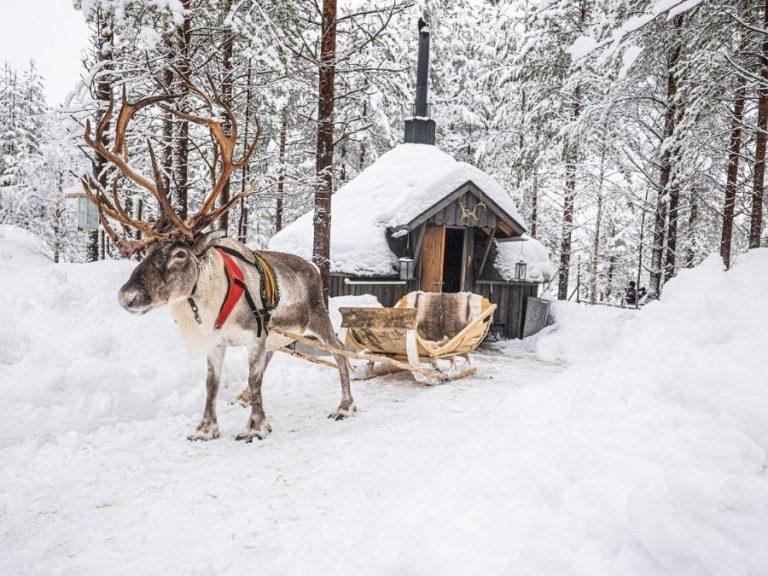 Reindeer pulling a sleigh in Ranua in winter