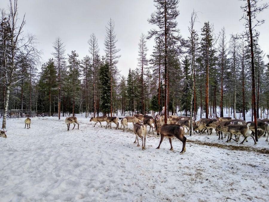 Reindeer herd, also known as tokka, in Ranua, Finnish Lapland