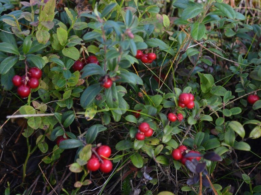 Autumn 2021 lingonberry harvest in Ranua