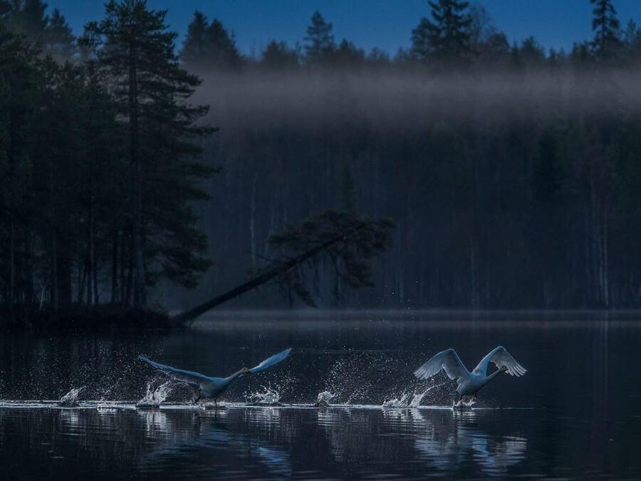 Joutsenet nousemassa lentoon järven pinnasta Lapissa