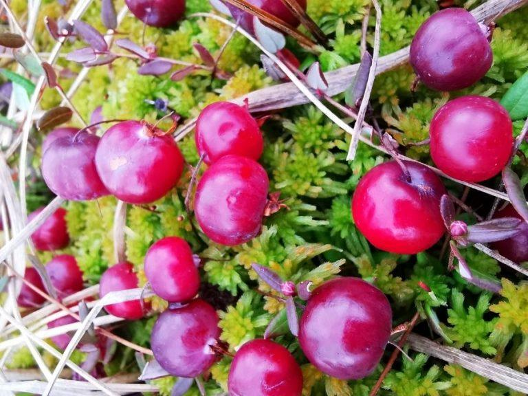 Cranberry harvest in Ranua in autumn 2021