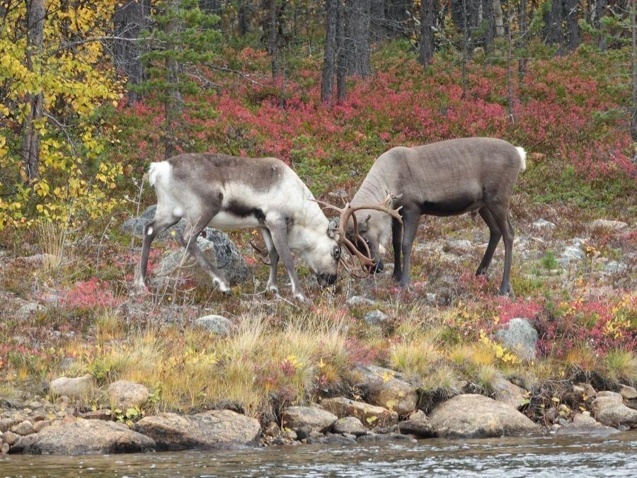 Reindeer rutting season in Finnish Lapland in 2021